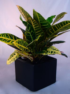 Colorful Croton – Medium