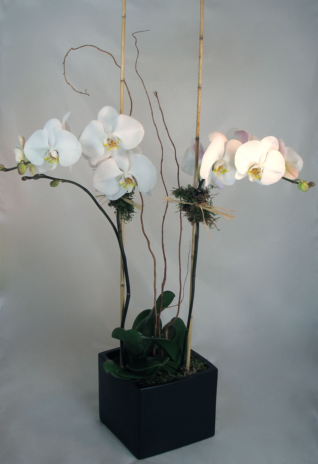 Potted Phalaenopsis Orchid Plant 2 Stems
