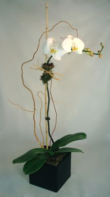 Feng Shui Single Potted Orchid