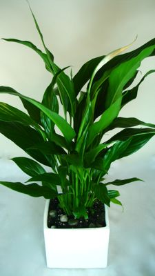 Peace Lily (Medium Spath)