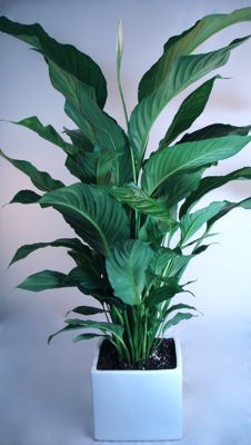 Peace Lily (Large spath)