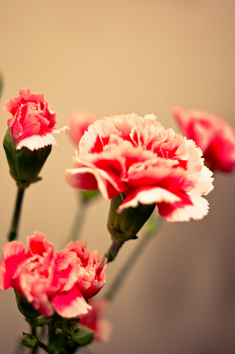 close up of pink carnations